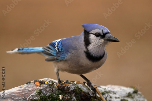 Blue Jay on an Icy Log with Bird Seed Canvas Print