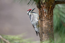 Woodpecker Inspecting Holes In...