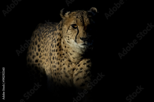Photographie Cheetah
