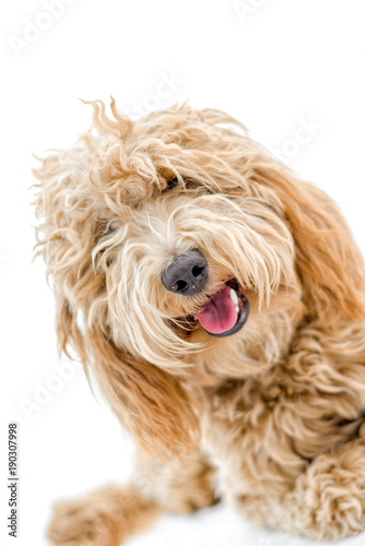 Photo  Sweet Labradoodle Puppy
