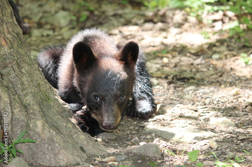 Fotografie, Obraz  Black bear cub laying down curiously looking at me