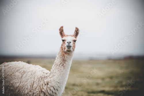 Spoed Foto op Canvas Lama One single llama in the altiplano along the border between Bolivia and Chile