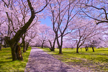 桜と散歩道