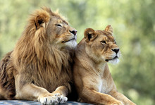 Pair Of Adult Lions In Zoologi...