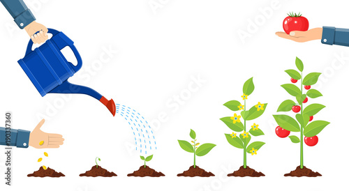 Fototapeta Growth of plant in pot, from sprout to vegetable. obraz