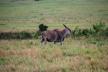Eland In Masai Mara National P...