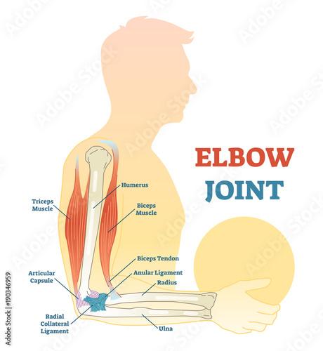 Elbow joint vector illustrated diagram, medical scheme. – kaufen Sie ...