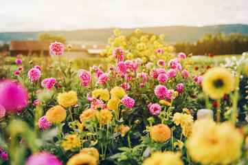 Beautiful field with pink and yelllow dahlia flowers, autumn garden filled with sun light