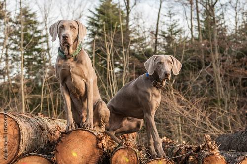 Zwei Weimaraner Vorstehhunde sitzen auf Holzstapel