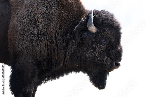 American Bison, Yellowstone National Park, Wyoming, America, USA