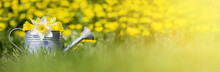 Springtime, Easter Or Gardening Concept - Yellow, White Flowers In A Watering Can
