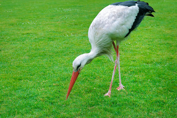 Stork on a background of green meadow.