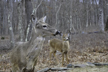 Mother And Young Whitetail Dee...