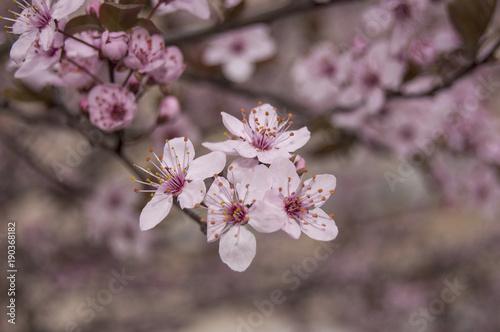 Foto op Plexiglas Magnolia Flowering branch