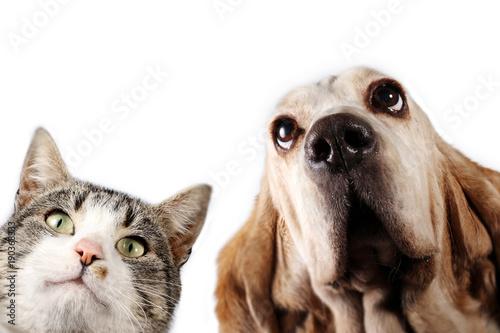 Poster Chien Basset hound dog and kitten on white background
