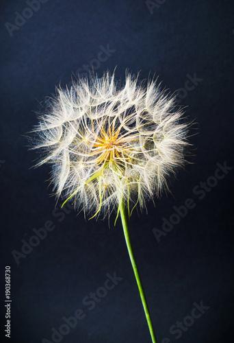 Photo  Dried dandelion head against black background