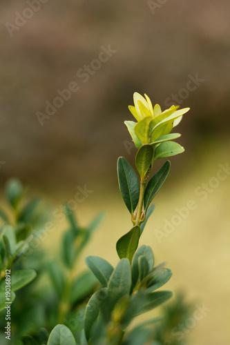 Fototapeta Bay leaves, botanical laurel laurel (Laurus nobilis L.) obraz na płótnie