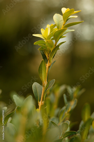 Fototapety, obrazy: Bay leaves, botanical laurel laurel (Laurus nobilis L.)