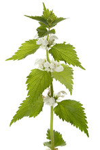Plant  Dead-nettle Isolated On White Background.
