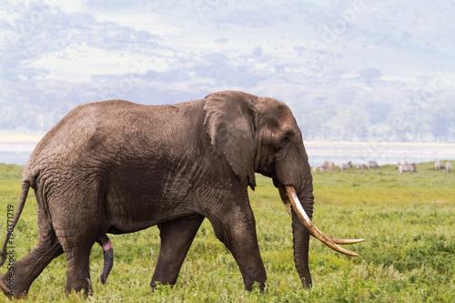 Foto op Aluminium Olifant Portrait of large elephant with a very big tusk. NgoroNgoro, Tanzania