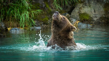 Grizzly Bear Shaking Off The W...