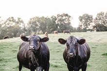 Curious Black Angus Cows