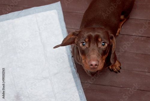 Puppy on absorbent litter Canvas Print