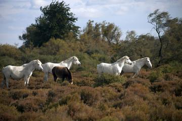 Francia,Camargue, Saintes-Maries-de-la-Mer, cavalli in libertà nella campagna.