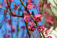 First Spring Pink Blossom.  Br...