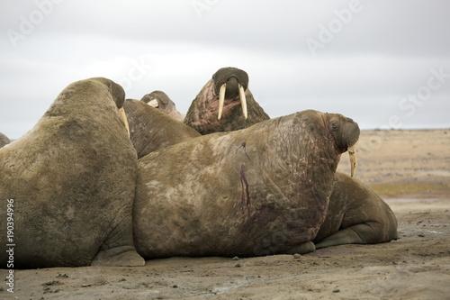 Papiers peints Arctique Walrus family haul-out