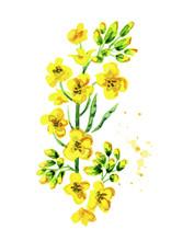 Rapeseeds Plant. Watercolor Ha...