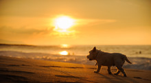 West Highland White Terrier Dog Walking On The Beach Into The Sunset