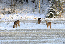 Three White-Tailed Deer In Win...