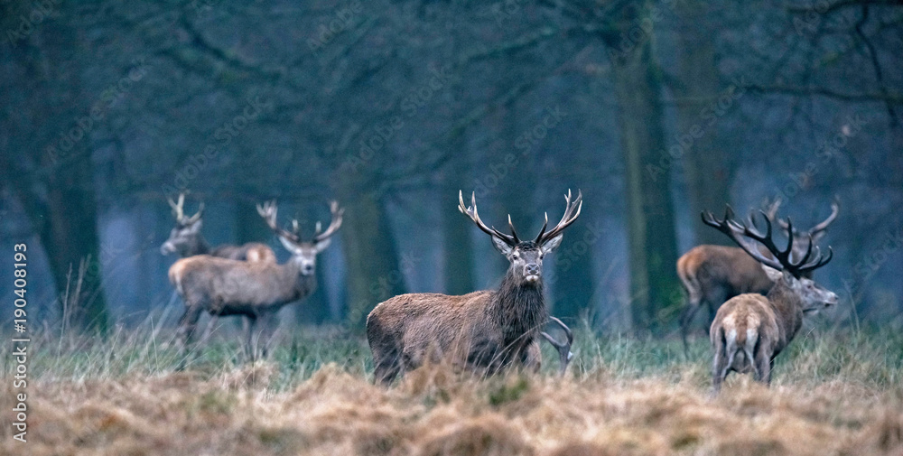 Red deer stag in high yellow grass looking towards camera.