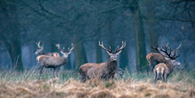 Red Deer Stag In High Yellow G...