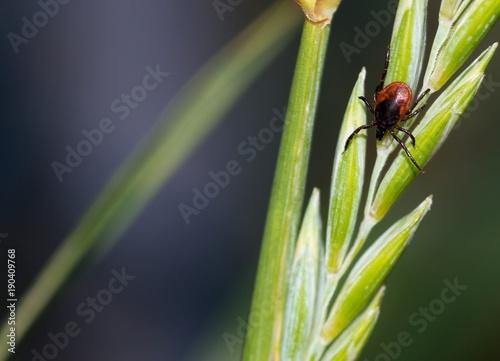 Weibliche Zecke, Gemeiner Holzbock (Ixodes ricinus), Zecken, lauert an Gras, Niedersachsen, Deutschland, Europa