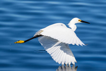 Snowy Egret In Flight Over Lake Fishing For A Fresh Catch