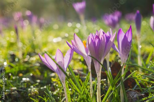 Staande foto Krokussen Blühende Krokusse auf grüner Wiese im Frühling