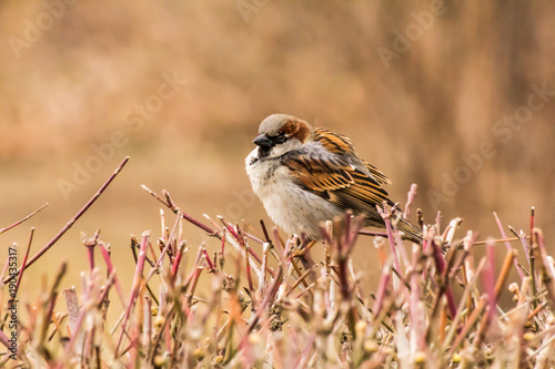 Foto op Plexiglas Vogel Male or female house sparrow or Passer domesticus is a bird of the sparrow family Passeridae, found in most parts of the world