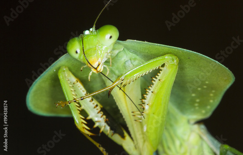 Fotografie, Obraz  A hooded mantis (Choeradodis rhomboidea) cleans its antennae at night in Costa Rica