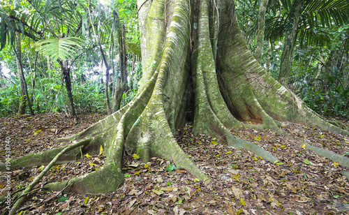 Vászonkép Massive buttress roots at the base of a tree in Costa Rica.