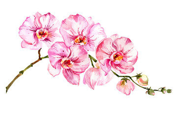 Panel Szklany Storczyki Pink moth orchid (Phalaenopsis) flower on a twig. Isolated on white background. Watercolor painting.