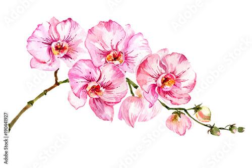 Fotografie, Tablou Pink moth orchid (Phalaenopsis) flower on a twig