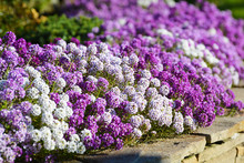 White, Lilac And Violet Flowers Alyssum On Flowerbed In Summer Garden.