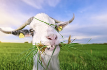 Goat With Funny Teeth And Gras...