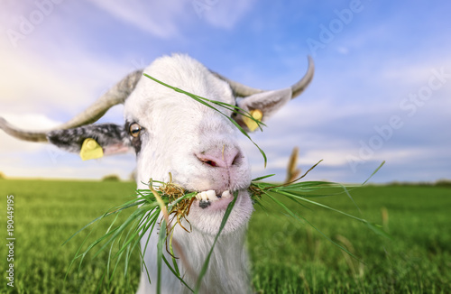 Goat with funny teeth and grass in mouth - Funny looking white billy goat with hilarious teeth, looking at the camera, with grass in its mouth, in a green field, on a sunny day of summer.