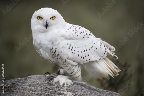 Snowy Owl Wallpaper Mural
