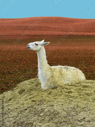 Staande foto Lama Cute Llama (Lama Glama) Sitting