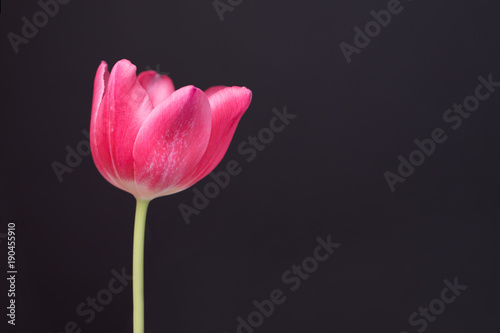 Spring Pink Tulip on dark Background Poster