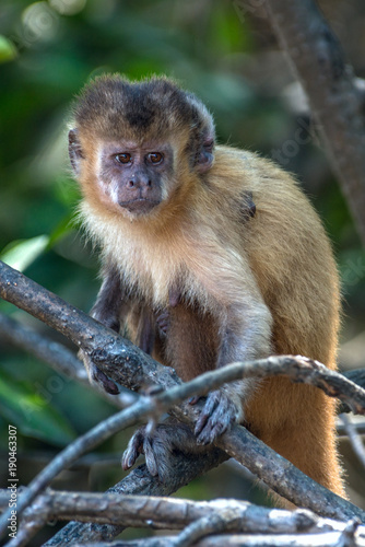 Photo Female capuchin monkey with a baby on her back, Atins, Maranhao state, Brazil